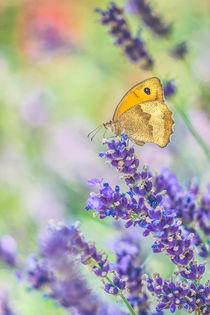 Lavendel by Sabine Fallend