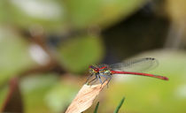 Red Dragonfly by Peggy Graßler