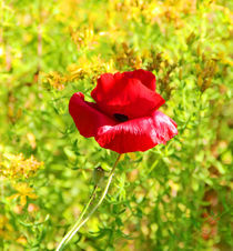 Yellow behind the red Poppy by Wilma Overwijn-Beekman