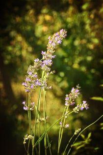 Lavendel - Blüten by Claudia Evans