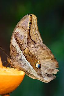 Butterfly on orange by Wilma Overwijn-Beekman