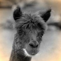 Nostalgie Alpaka 2 von kattobello