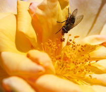 Visiting the golden rose by Wilma Overwijn-Beekman