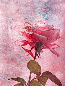 Pinkfein by sternbild