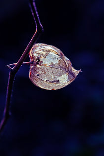 Florale Strahlung II von sternbild