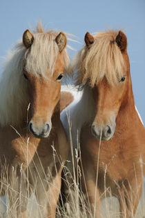 Zwei Isländer Jungstuten Portrait von Sabine Stuewer