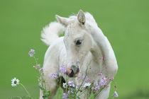Tennessee Walking Horse Fohlen mit Blumen von Sabine Stuewer