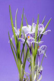 A bush of crocus on a violet background by Valentin Ivantsov