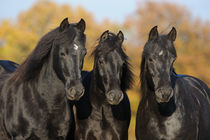 Portrait Morgan Horse Stuten by Sabine Stuewer