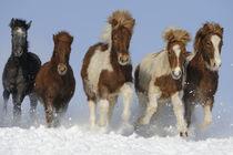 Isländer Fohlen galoppieren durch Schnee von Sabine Stuewer