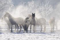 Welsh Cob Ponys in Winterstimmung by Sabine Stuewer