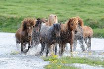 Islandpferde Herde durchquert Fluss auf Island by Sabine Stuewer