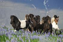Islandpferdeherde in Lupinen auf Island von Sabine Stuewer