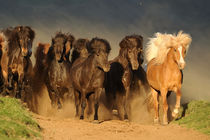 Islandpferde Herde in Island von Sabine Stuewer
