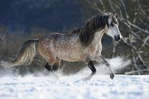 Paso Fino Hengst galoppiert im Schnee by Sabine Stuewer