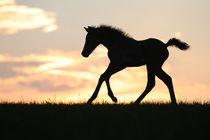 Morgan Horse Fohlen, Galopp im Abendlicht von Sabine Stuewer
