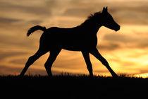 Vollblut-Araber Fohlen galoppiert in Sonnenuntergang von Sabine Stuewer