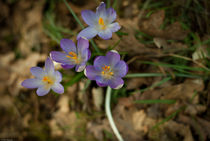 Krokusse im Wald by lynn-ba