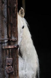 Vollblut-Araber Stute schaut aus Stall von Sabine Stuewer