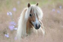 Mini-Shetland-Pony in Wiese by Sabine Stuewer