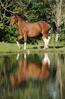Curly Horse Stute am See von Sabine Stuewer