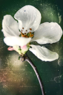 Spring in the orchard - Apple blossom von Chris Berger