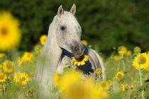 Vollblut-Araber Stute in Sonnenblumenfeld von Sabine Stuewer