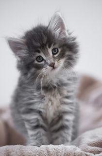 Norweger Kitten / 1 von Heidi Bollich