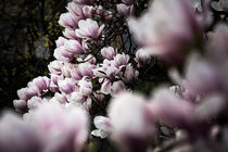 Magnolia von Susi Stark