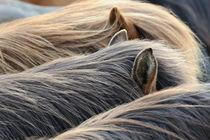 Isländer, Detail Mähne und Ohren von Sabine Stuewer
