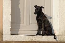 Junger Mischling sitzt vor Tür by Sabine Stuewer