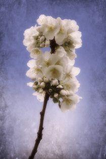 Spring Blossom 2 by CHRISTINE LAKE