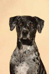 Catahoula Leopard Dog, Portrait by Sabine Stuewer