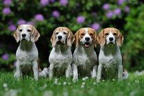 Beagle, Gruppe vor Rhododendron by Sabine Stuewer