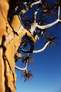 NAMIBIA ... Quiver Tree by meleah