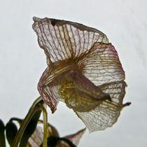 Filigrane Blüte von atelier-kristen