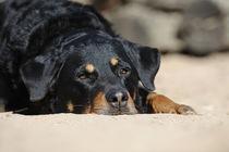 Rottweiler Mischling Porträt liegend von Sabine Stuewer