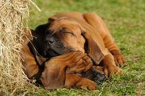 schlafende Rhodesian Ridgeback Welpen von Sabine Stuewer