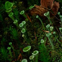 Trompetenflechte Cladonia fimbriata by atelier-kristen