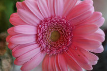 Gerbera by stephiii
