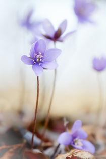 Blütentanz von Thomas Matzl