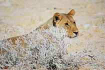 NAMIBIA ... The Lioness II by meleah