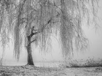 Trauerweide am Bodensee von Christine Horn