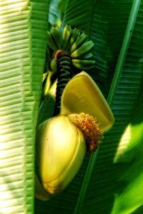 Bananen - Staude von Claudia Evans