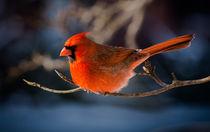 Northern Cardinal 2 by Tim Seward