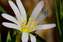 Die Blüte der Großen Sternmiere von Ronald Nickel