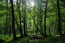 Sonnenaufgang im Frühlings  -  Wald by Claudia Evans