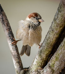 House Sparrow 2 von Tim Seward