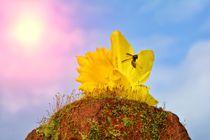 Gelbe Narzisse  (  Narcissus pseudonarcissus  )  mit Biene  von Claudia Evans