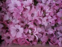 Malvenblüten by tinta3